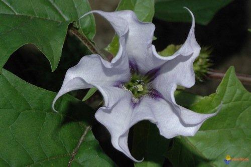 Il fiore della Datura Stramonium