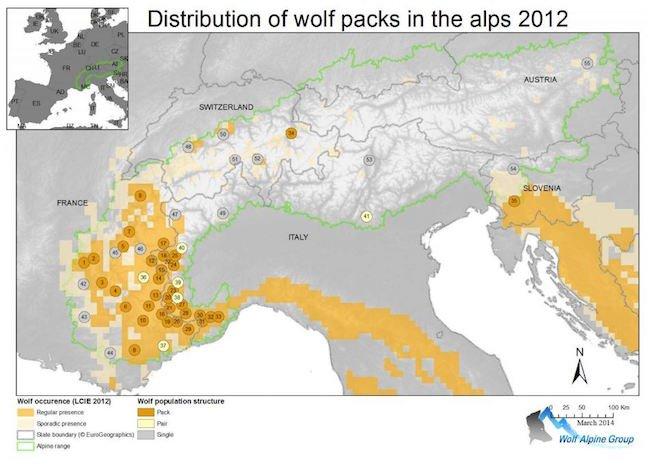 Branchi di lupi sulle Alpi