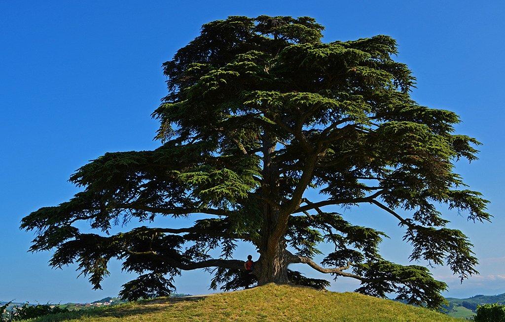 Grandissimo cedro del Libano